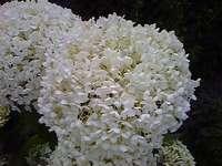 Hortênsias brancas