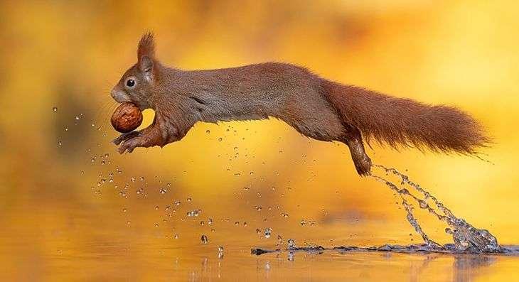 Eekhoorn tijdens de vlucht - Puzzel: eekhoorn tijdens de vlucht (11×9)