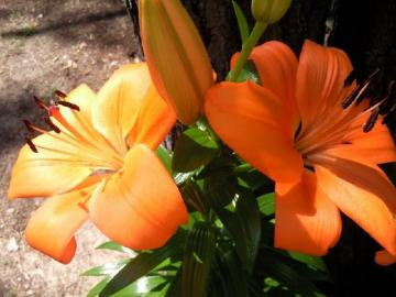 Beautiful orange lilies - Lilies will decorate any garden
