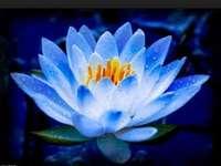 flor de lótus ----------------