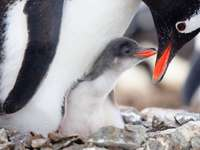 Penguin Father