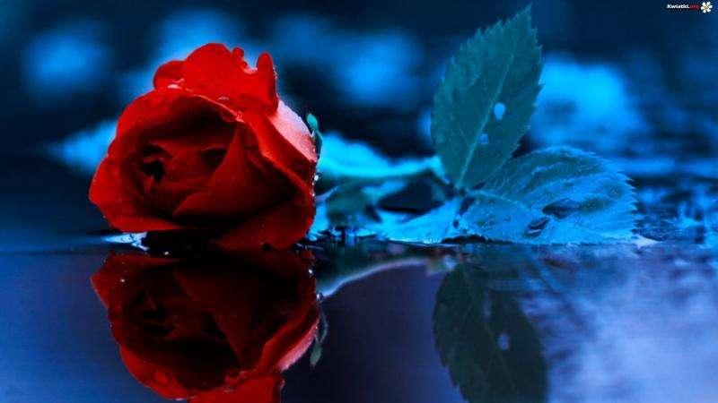 Trandafir roșu - Trandafir roșu. Trandafir roșu pe suprafața lacului (8×8)