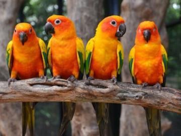 Parakeet. - Animals. Birds: parakeets.