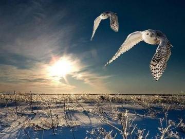 Owls at dusk - Owls at dusk Landscape Sunset