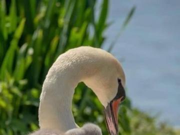 Pen. - Bird. Swan with children.