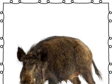 wild wild - a small boar walks in the woods and eats