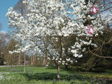 Magnolia - magnolias will bloom soon