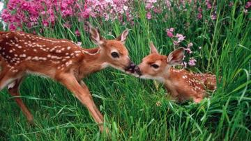 Two small deer on a green meadow - Two small deer on a green meadow