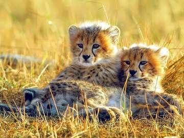 Cheetahs. - Animals. Little Cheetahs.