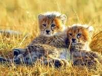 Gepardy. - Zwierzęta. Małe gepardy.