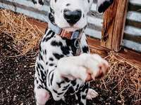 A beautiful Dalmatian - The Dalmatian is one of the breeds of dogs, belonging to the group of hounds, hound and related bree