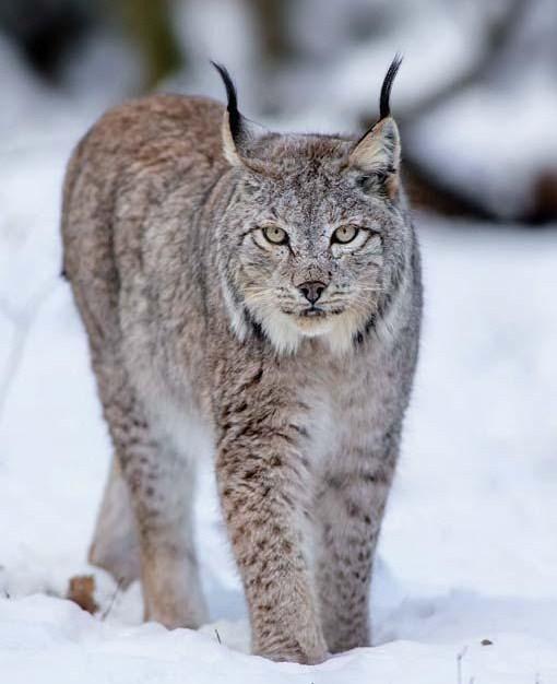 Lynx în zăpadă - Lince frumos pe zăpadă. 70 de articole (10×7)