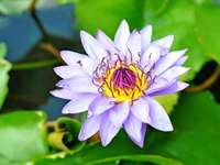 lótuszvirág - Lótuszvirág. Gyönyörű lótuszvirág.