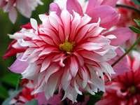 egy gyönyörű virág - egy gyönyörű virág