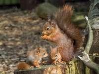 Eekhoorn eekhoorns