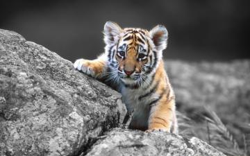 sweet tiger - sweet young tiger. 225 elements