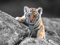 édes tigris - édes fiatal tigris. 225 elem