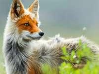 красива лисица