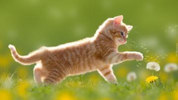sweet red kitten - sweet red kitten playing with a dandelion. 100 items