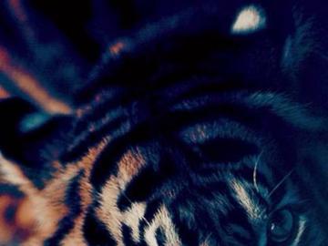 beautiful tiger - beautiful tiger