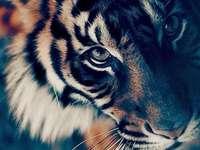 красив тигър