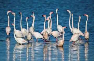 ornithology - pink flamingos in a nature reserve