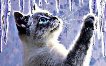 Beautiful Cat With Beautiful Eyes Looks At Ice Ici - Beautiful Cat With Beautiful Eyes Looks At Ice Icicles In The Winter