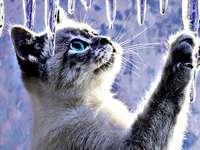 Gyönyörű macska, gyönyörű szemekkel néz ki, a jégcsapokon - Gyönyörű macska, gyönyörű szemekkel néz ki, a jégcsapokon a télen