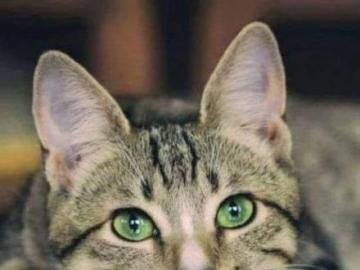 A beautiful green-eyed cat and its reflection - A beautiful green-eyed cat and its reflection