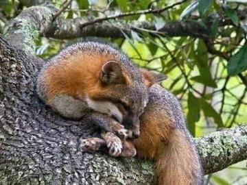 Sonnolento albero di volpe rossa - Sonnolento albero di volpe rossa