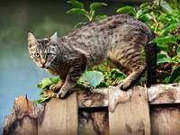pisica care stă pe gard - Pisica care stă pe gard. Pisica stă pe gard.