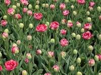 tulips - Tulips in the Botanical Garden