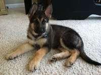 cachorro rey pastor alemán