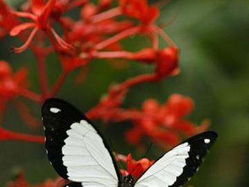 Papillon  - Beautiful White Butterfly
