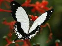 Papillon  - Gyönyörű fehér pillangó