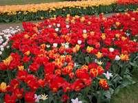 tulips - Flowering season of tulips