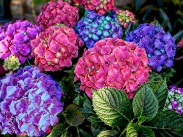 Hortensje. - Układanka. Kwiaty. Hortensje.