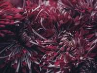 Dieprode chrysant omhoog