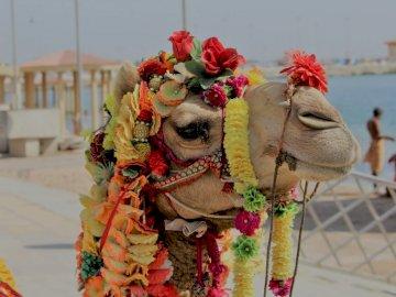 Camel At Dwarka - Wielbłąd z dekoracjami kwiatowymi. Bangalore