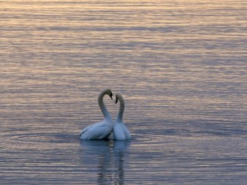 Being on a business trip to - Two white swan on body of water. Germany