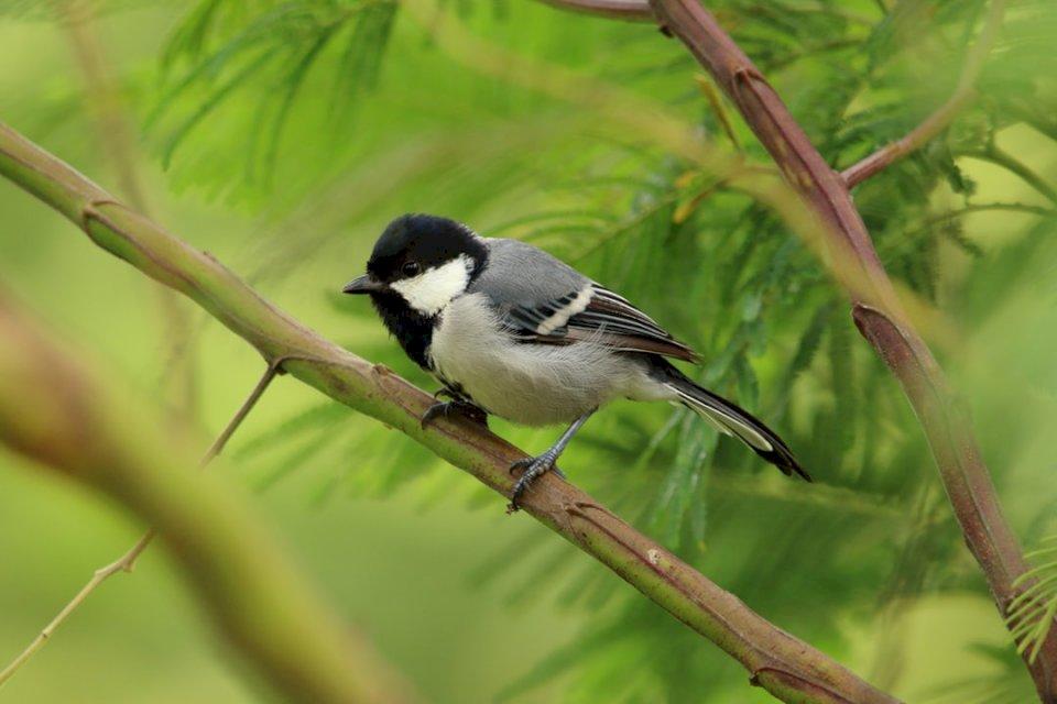 Little Bird - Cinereous tit