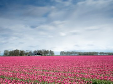 Pink tulip field - Pink flowers during daytime. The Netherlands