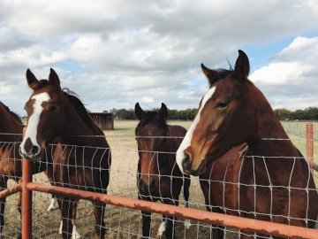 Dark bay horses over a fence - Four brown horses behind fence.