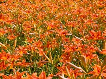 Orangenlilien - Rote Blumen. Portland, OR
