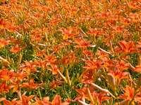 Orange liljor - Röda blommor. Portland, OR
