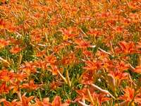 Lys orange - Fleurs rouges. Portland, OR