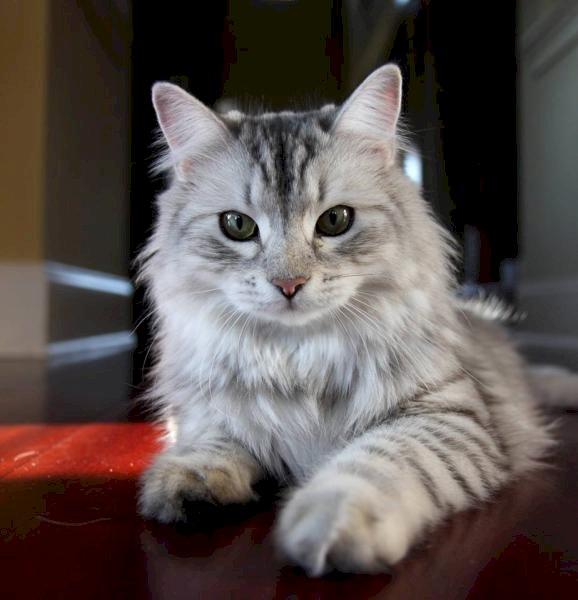Chaton - Lieve dieren. Katje. Kalme kat wacht op je (5×5)