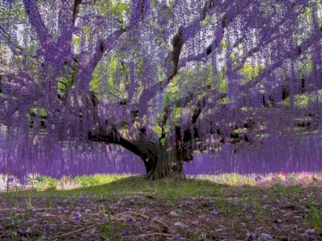 wisteria at Ashikaga Flower Park in Japan - oh oh oh oh oh oh oh oh oh oh