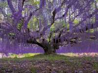 wisteria v parku Ashikaga Flower v Japonsku