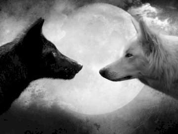 Two wolves - Two Wolves Looking At Each Other